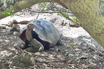 Giant Galapagos tortoise under a tree at Galapaguera San Cristobal, tortoise hatchery, Galapagos.