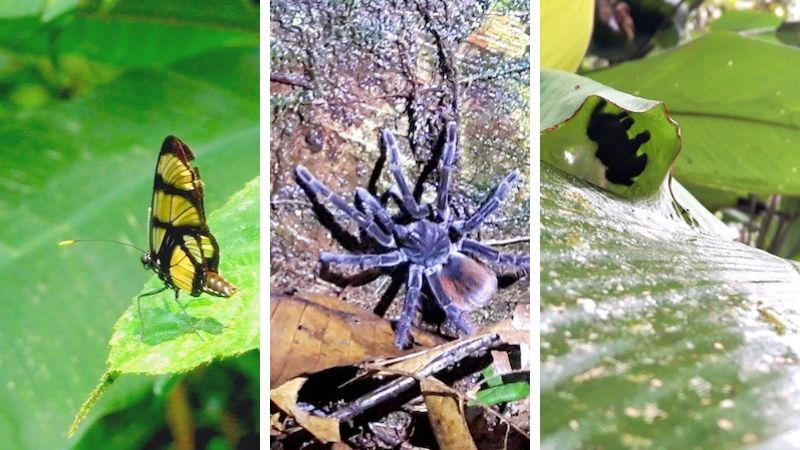 Butterfly, spider and tarantula in the Cuyabeno Reserve, Ecuador Amazon jungle.