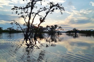 Tree tops in the water at sunset on Laguna Grande, Cuyabeno Reserve in Amazon Rainforest, Ecuador.