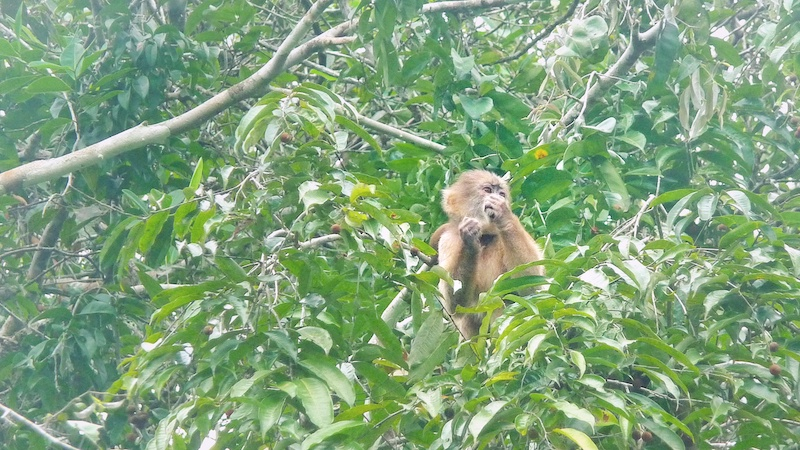 Squirrel monkey in a tree in the Amazon Jungle, Ecuador.