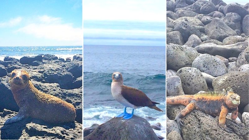 Collage of sea lion, blue footed boobie and marine iguana in the Galapagos Islands.