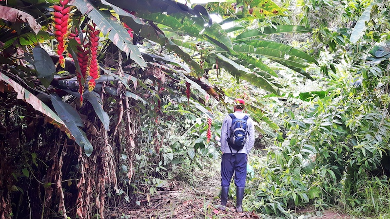 Man hiking through dense green jungle in the Ecuador Amazon rainforest.