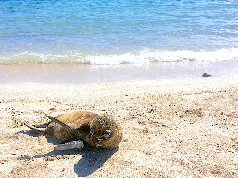 Small sea lion pup in the sand at the water's edge in San Cristobal, Galapagos.