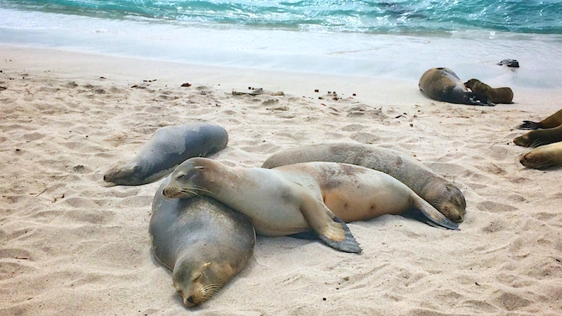Sea lions laying on top of each other on the beach in San Cristobal, Galapagos Islands.